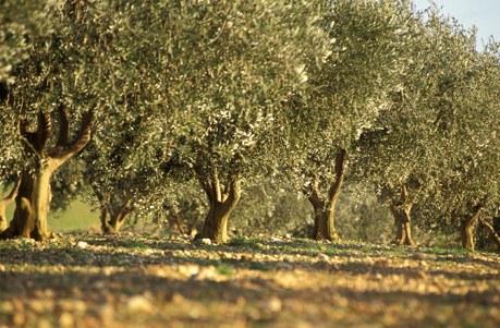 Oliviers sur le plateau de Valensole dans les Alpes de Haute Provence Camping Qualité