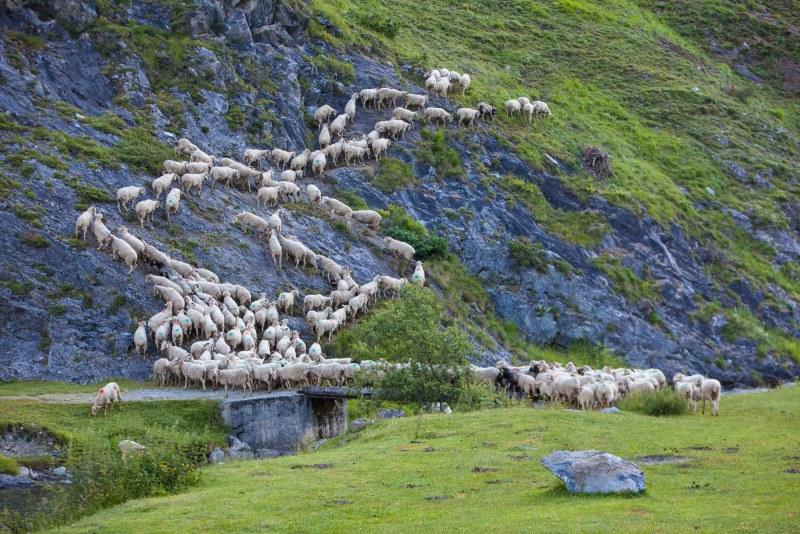 Troupeau de moutons dans le département des Hautes-Pyrénées en région Occitanie Midi-Pyrénées Camping Qualité